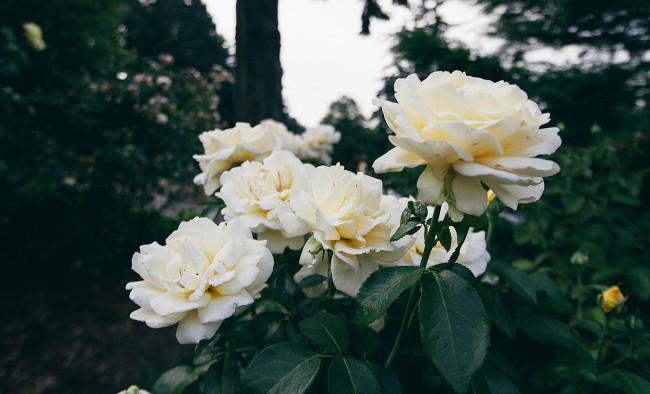 PDX Roses 2 2015_Needles